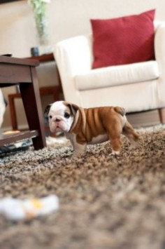 English Bulldog Puppy cutest dog ever