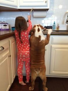 English Bulldog ❤ Sister's little helper.