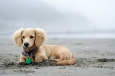 English Cream Dachshund! My next love!
