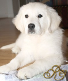 English Cream Golden  aka baby polar bears