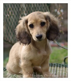 English Cream Long Hair Mini Dachshund, i love wiener dogs but this one with the very dark eyes is kinda creeping me out. She looks like a demon wiener dog!