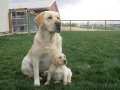 "english labrador retriever   LABRADOR RETRIEVER PUPPIES SIRED BY ""GOOSE"""