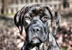 English Mastiff Brindle