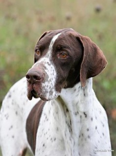 English Pointer, talk about majestic