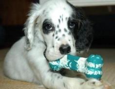english setter pup!