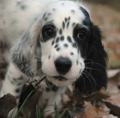 English Setter  to be the cutest thing in the world