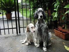 Engllish Setter & puppy