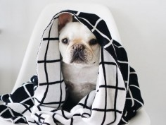 """ Phone home"", French Bulldog in a Pipolli Blanket."