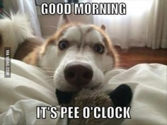 Every. Single. Morning. Good morning its pee o'clock. Puppy waking up their human. So cute!
