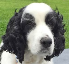 Fifi — ESRA Special Needs Springer