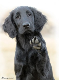 Flat coated retriever-pretty much a black golden- gorgeous!!!