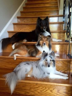 | 3 shelties