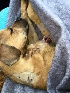 Florida rescue tackles first horrific dog torture case of 2015. Please donate for his extensive medical needs. :'( Thankfully he survived this horrible abuse!