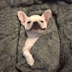 French Bulldog 'Bat-Pig in a Blanket'.❤️❤️
