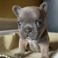 French Bulldog  face!!
