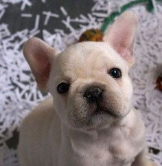 French Bulldog Puppy @Erica Cerulo Fallot