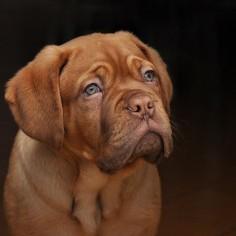 french mastiff.