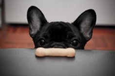 frenchie #frenchie #frenchbulldog #dog #acasadava