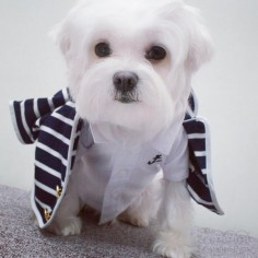 Friends, today is good time to share a maltese dapper moment.   #arodwang #maltese #instagram #doglover #whitedog #fluffy #boy #popsugarpets #love #puppy #raisblack #cute #말티즈 #マルチーズ #dog #dogmodel #犬 #狗 #weeklyfluff #dapper #fashion
