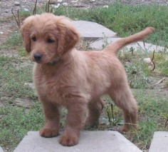 Full grown golden cocker retriever- looks like a puppy forever! I need this dog in my life immediately.