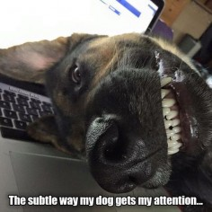 Funny German Shepherd.