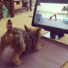 funny yorkie sport yoga