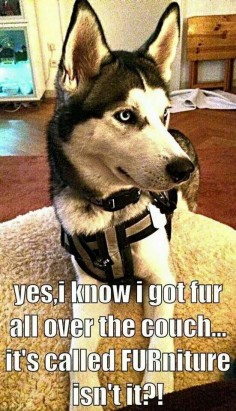 """FUR"" that's what you get with huskies."