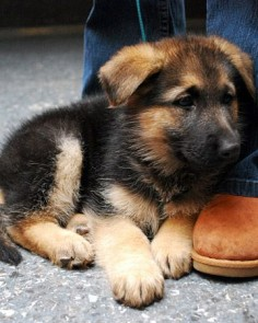 German Shepherd  too cute!!!