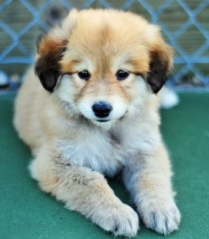 German Shepherd / Golden Retriever mix puppy