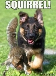 german shepherd humor | squirrel german shepherd