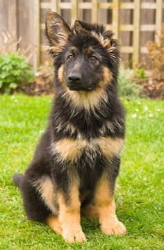 German Shepherd puppy.