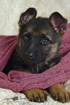 German Shepherd puppy 8 weeks