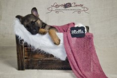 German Shepherd puppy 8 weeks old