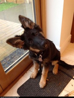 German Shepherd Puppy Head Tilt