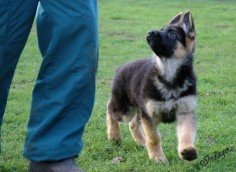 """German Shepherd puppy - """"What shall we do now, dad?"""":"""