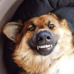 German Shepherd smiles & Saturday morning silliness