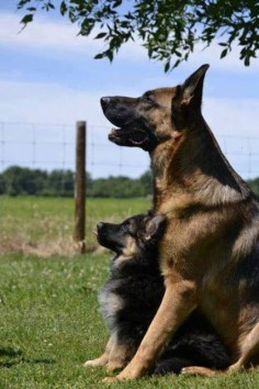 German Shepherds are well known because of their qualities: One of the most loyal breed of dogs; strong sniffing power used by police, herding, rescue, military and detective purposes; the most registered dogs by kennel club in number; very consistent in their behavior; highly energetic; high stamina; protective & dominant in nature; aggressive on feeling any kind of danger.