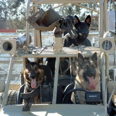 German shepherds, just getting ready for world domination. No big deal.