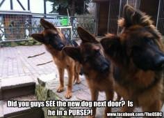 German Shepherds.