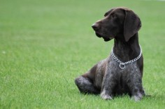 German Shorthaired Pointer, a hunting dog