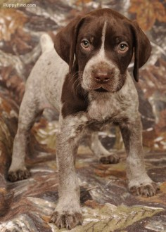 german shorthaired pointer puppy. please please pleeeeeaase