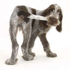 German Wirehair Pointer