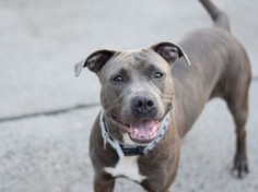 GESTURE - A1076233 - - Brooklyn  TO BE DESTROYED 06/15/16**AVERAGE RATED!!!!!!** Remember back in April, when the ACC got a $500,000 grant that was supposedly going to help them hire more staff to help the animals in their care? That extra staff sure would have been appreciated, if that extra staff could have helped pretty Gesture feel more at ease in the shelter, and helped her put her best foot forward in playgroup. Thankfully the ACC volunteers spent time with this girl,