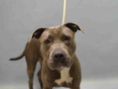 GESTURE – A1076233 MALE, GRAY, AM PIT BULL TER MIX, 1 yr STRAY – STRAY WAIT, NO HOLD Reason STRAY Intake condition EXAM REQ Intake Date 06/04/2016, From NY 11221, DueOut Date 06/07/2016,