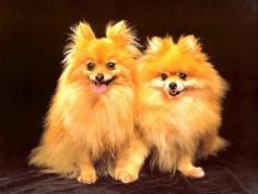 golden dogs,