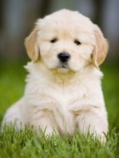 Golden Retriever Puppy! Can't wait to get mine!!