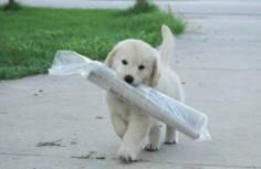 Golden retriever puppy - so cute!