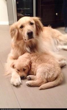 Golden Retrievers Taking A Nap