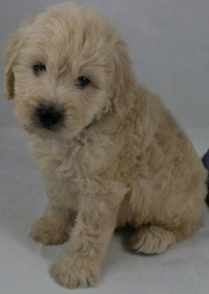 Goldendoodles English Goldendoodle Puppy Breeder - Goldendoodle Puppies For Sale - Moss Creek Goldendoodles