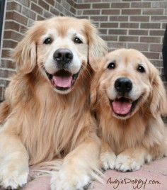 Goldens just SMILE